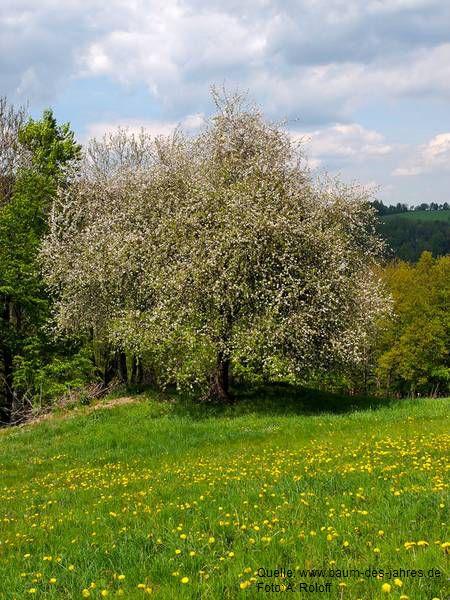 Wildapfel 2 in Ein Baum mit hoher Symbolkraft