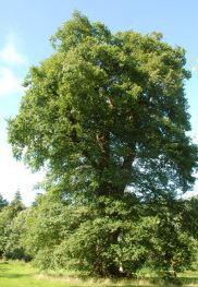 Ei2 in Die Traubeneiche ist der Baum des Jahres 2014